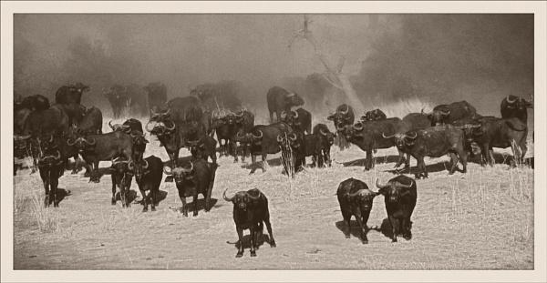 Cape buffalo in the dust. by rontear