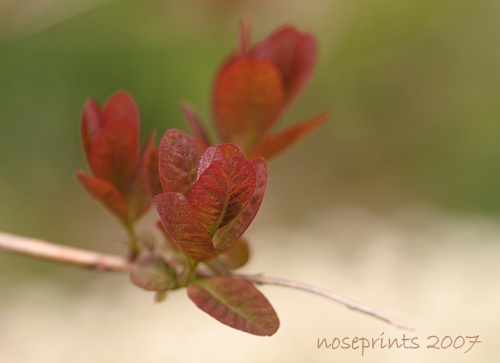 smoke bush by noseprints