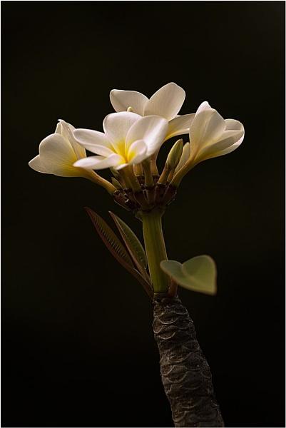 Plumeria by billma