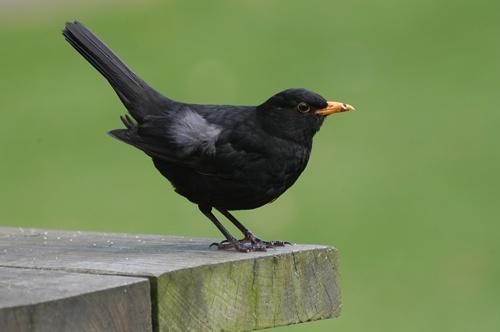 Blackbird by chrisbastow