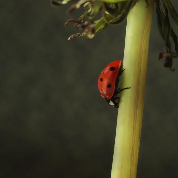 ladybug by funkymarmalade