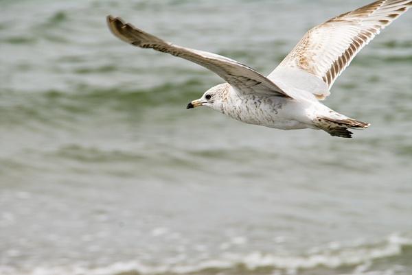 Shore Bird 001 by gajewski