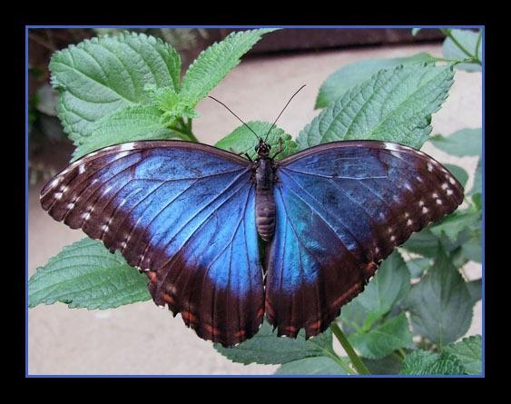Blue Morph by Lorraine