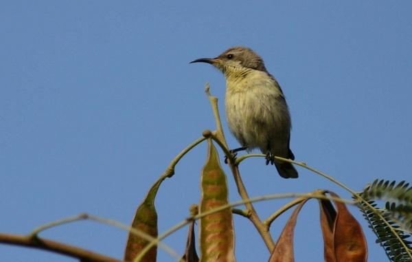 Sunbird by magnus