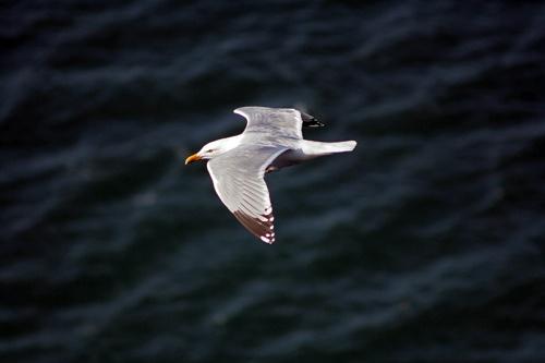 gull by mort