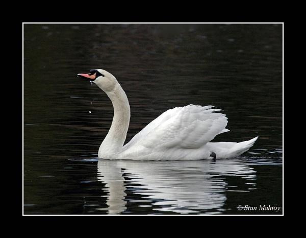 Mute Swan by alpha788