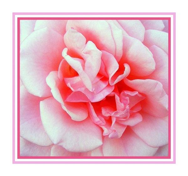 Pink Frills by trissie