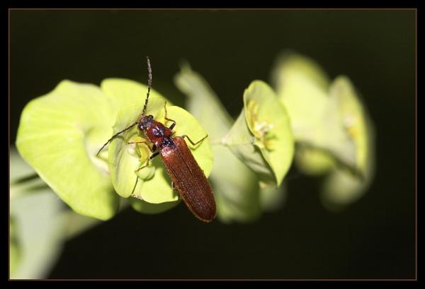 Euphorbia and Beetle by Paintman