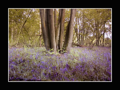 Bluebells by nickhawk