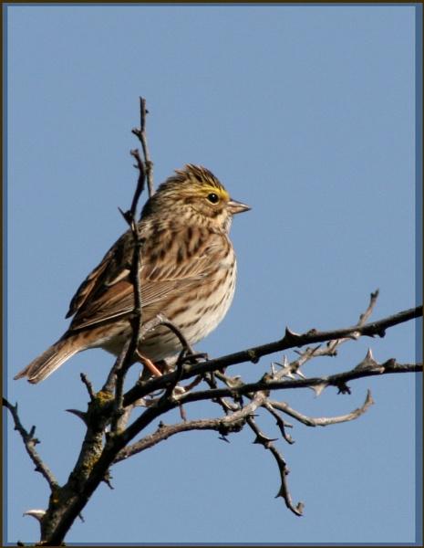 Savannah Sparrow by mommy2cutekids
