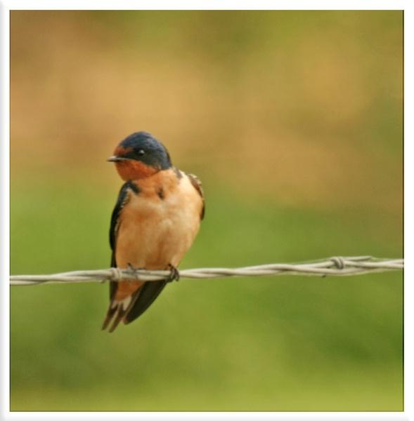 Barn Swallow by mommy2cutekids