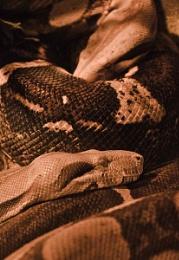 Sepia Snakes