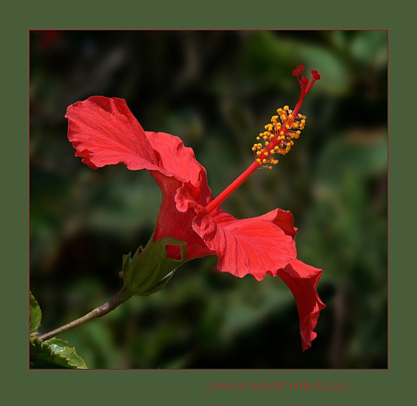 \'China Rose Hibiscus\' by limmy62