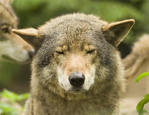 Woof, I´m a Wolf by thrumyeye