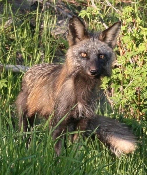 Fox 2 by KenJ