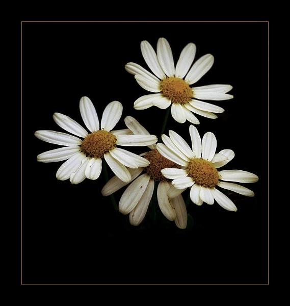 Daisys (fixed) by _Helena_