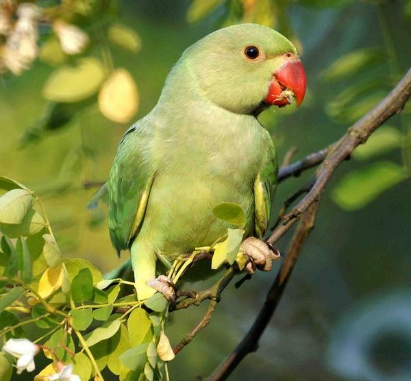Parakeet by Thincat
