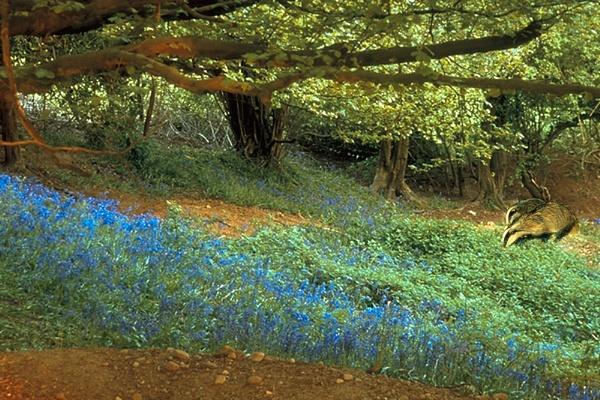 Bluebell Sett by Badgerfred