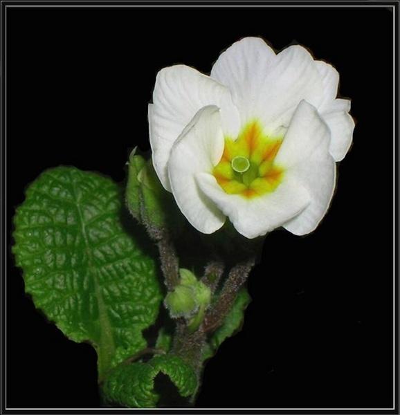 The pure primrose by mystify