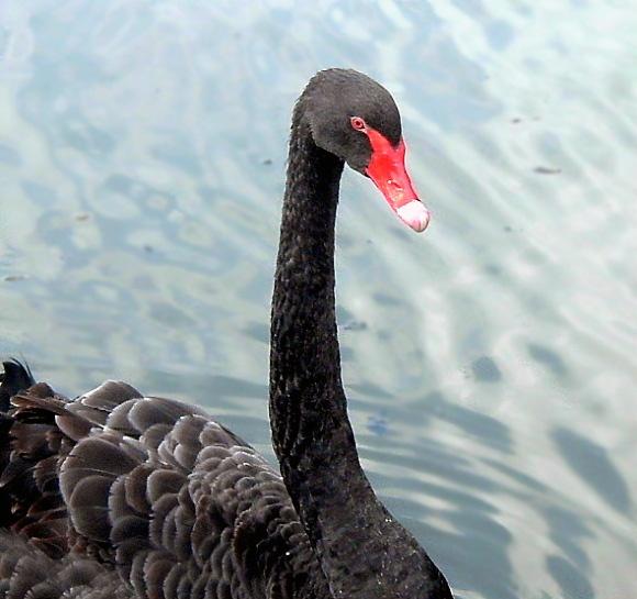 Swan Song by mystify