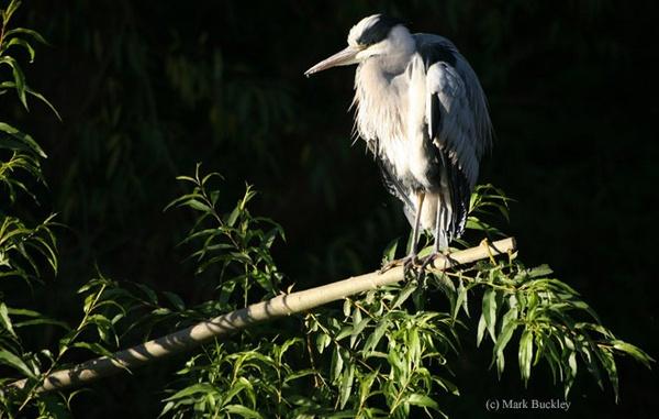 Grey Heron by Bucks