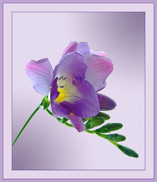 Lilac Freesia by sandrish
