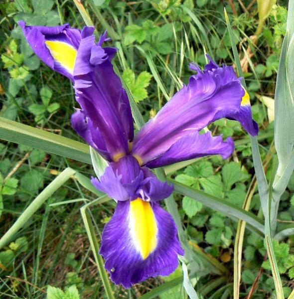 Iris by cats_123