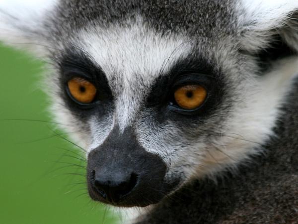 Lemur by digitalcaptive