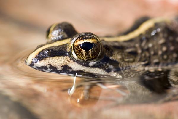 Frog Eye by sferguk
