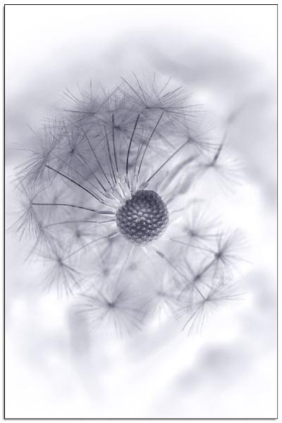 Dandelion In Reverse by Morpyre