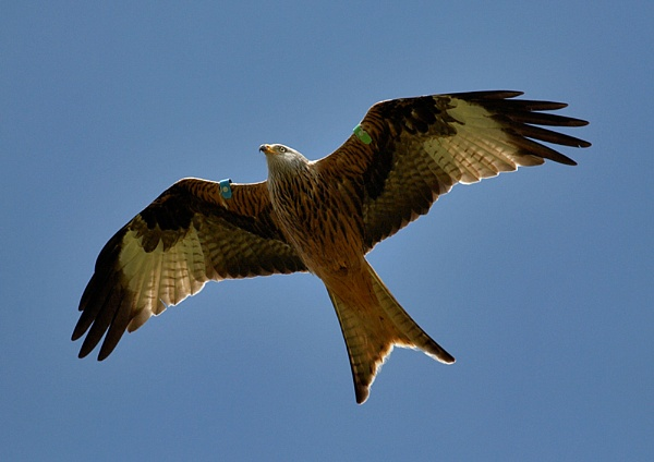 red kite by amos_cmos