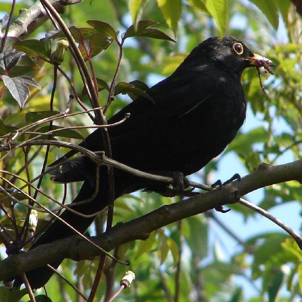 Blackbird & Supper by tenerifejohn