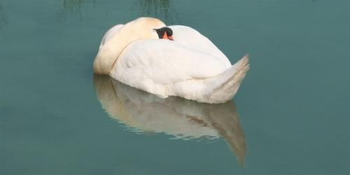 Swan by nowhereishere