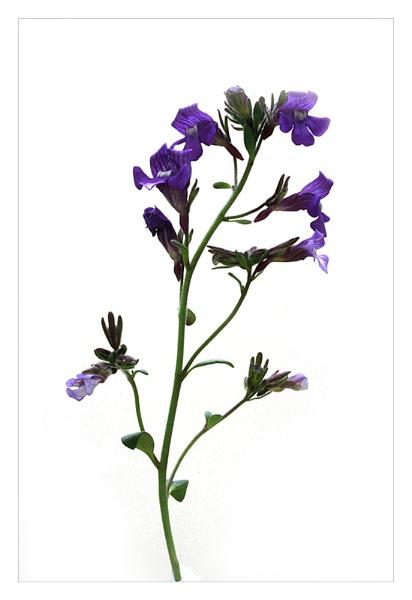 Alpine flower by didgpix