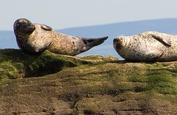 Forth Seals by naifud