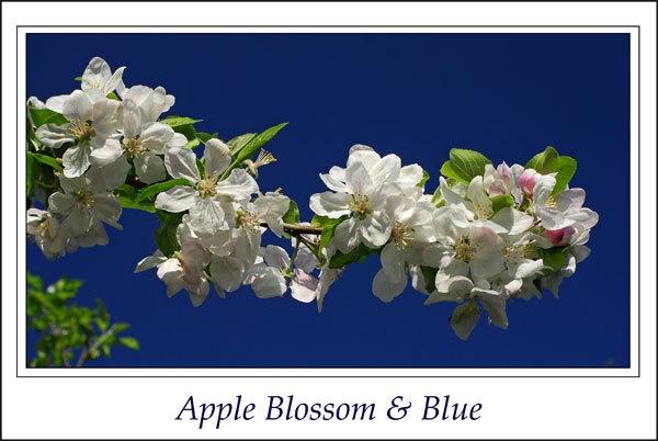 Apple Blossom & Blue by Ingleman