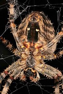 Garden Spider by ORCHIDCUSTOMER