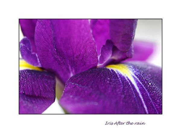 Iris after the rain by jane benge
