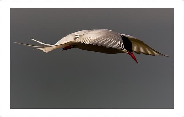 Artic Tern by gemeit