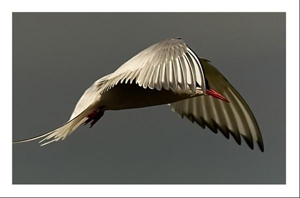 Tern by gemeit