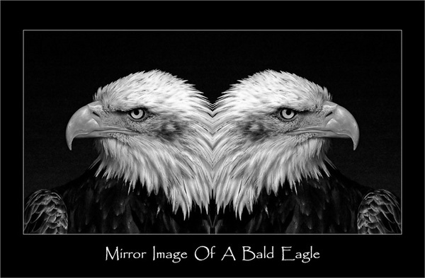 Mirror Image Of A Bald Eagle by chrissycj