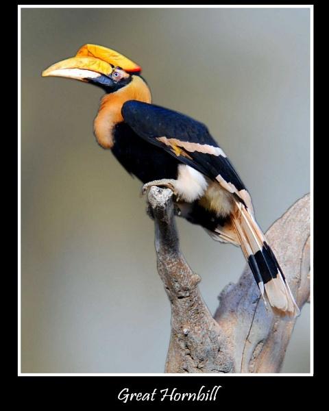 Great Hornbill by MikeRC