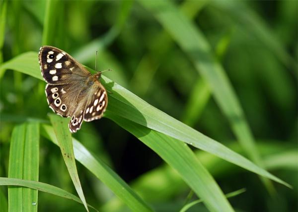 butterfly by arpix