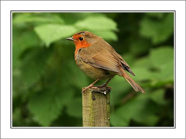 Robin by Steb