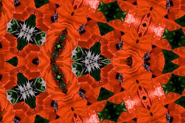 Return of the Poppy by g_parry