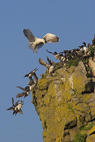 Gull attack by pronature