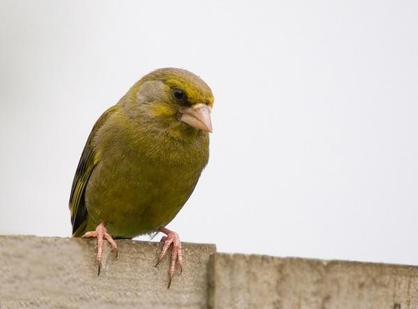 Greenfinch by Georgiah