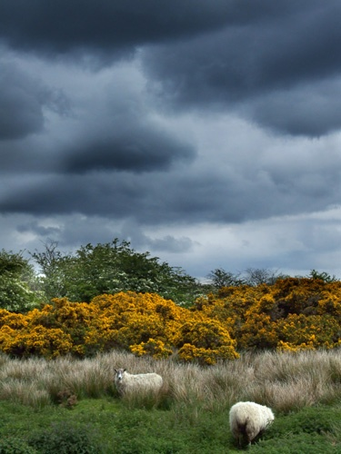 Scottish landscape with sheep by Juliet