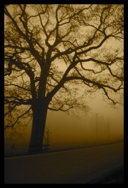 Sea-mist My Oak by SarahK