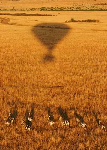 Massai Zebras by monoman